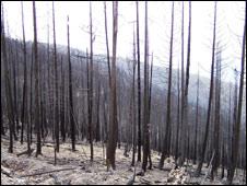 Incendio forestal a causa del escarabajo descortezador.