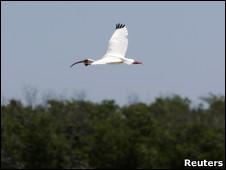 Íbis branco (Foto: Reuters)