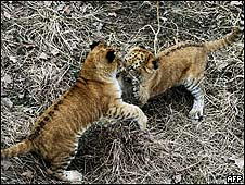Jaguares cachorros jugando