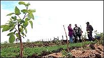 Plantación de arboles en el Chol Chol