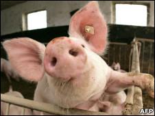 农场的活猪