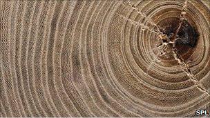 جذوع الشجر تحكي قصة حضارات البشر 110115113433_tree_304x171_spl_nocredit