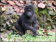 Foto: The Dian Fossey Gorilla Fund International
