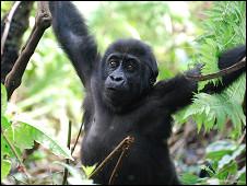 The Dian Fossey Gorilla Fund International