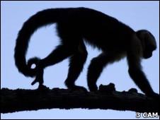 Macaco capuchino