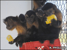 Monos capuchinos. Foto: K. Phillips