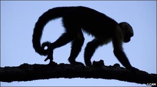 Un mono capuchino se trepa por una rama. Foto: J Cam