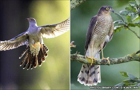 Кукушка (слева) и ястреб-перепелятник имеют идентичный