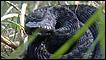 Víbora negra encontrada em reserva de Somerset