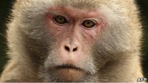 Macaco rhesus (AFP)
