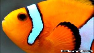 """un pez """"payaso"""""""