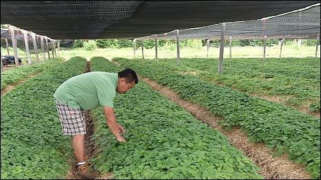 Một người trồng nhân sâm ở Wisconsin