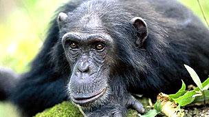 Chimpancé Arup Shah/NPL