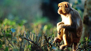 Macaco Foto: Manoj Shah / Getty