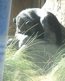 Chimpancé en cautiverio Foto © Lucy Birkett