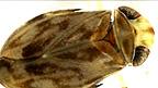 Micronecta scholzi, el pequeño insecto cantor más ruidoso de la Tierra