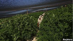 Plantío clandestino de marihuana en México. Archivo