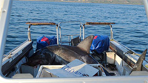 Tubarão dentro de barco de pesquisa (Foto: Oceans Research)