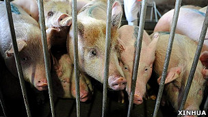 河南济源一家肉类加工厂内的肉猪(新华社图片16/3/2011)