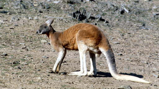 Kanguru merah