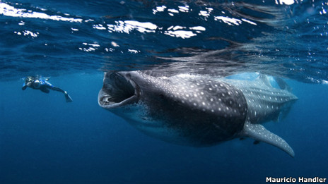 Buzo nadando con tiburón ballena (FOTO: M. Handler)