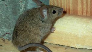 تجارب على الفئران العمياء