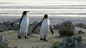 Pinguins nas Ilhas Malvinas/Falklands (Arquivo BBC)