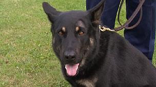 Obi, um dos cães da Polícia Metropolitana de Londres, foi ferido durante distúrbios (BBC)