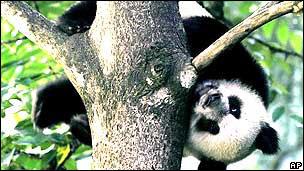 Oso panda en la Reserva de Wolong, en la provincia de Sichuan, China