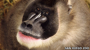 Primata drill