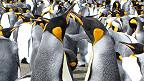 Đôi chim cánh cụt đang múa