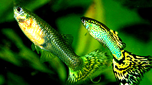 Peces guppy Poecilia reticulata Foto: Marrabbio2