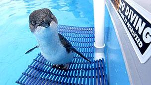 Pingüino rescatado en Nueva Zelanda