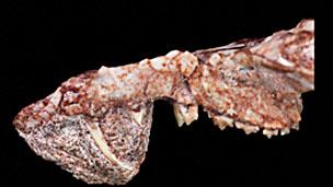 Fósiles de Cronopio Imagen cortesía Dr. Guillermo Rougier