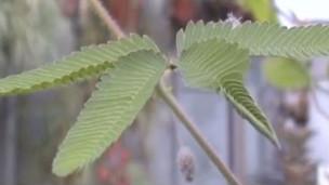 Imagem de planta registrada por Roger P. Hangarter (Plants in Motion)
