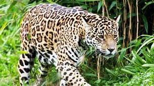 Jaguar Foto SPL