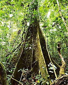Árbol en la Amazonia DR MORLEY READ/SCIENCE PHOTO LIBRARY