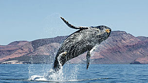 Ballena Foto CHRISTOPHER SWANN/SCIENCE PHOTO LIBRARY