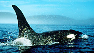 Orca Foto William Ervin Science Photo Library