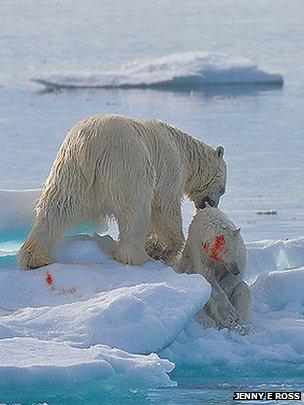 成年北极熊捕食小熊为食