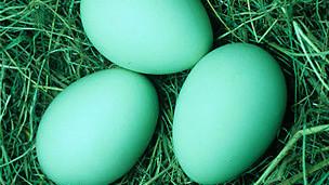 Huevos verdiazules