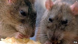 老鼠是出血热最主要的传播途径