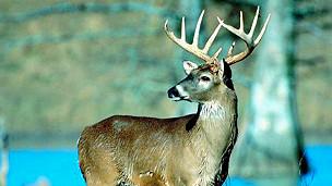 Huemul, ciervo autóctono chileno