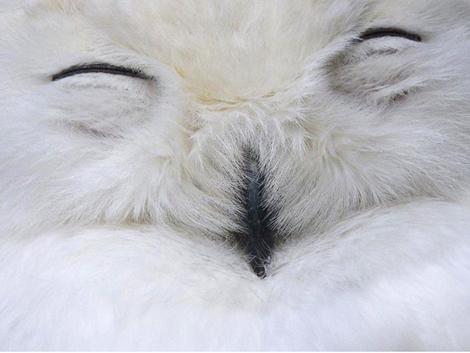 Snowy owl, Japan