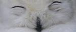 Snowy owl Japan