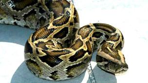 Pitón birmana Python molurus bivattatus Foto USGS
