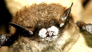 Murciélago con el síndrome de nariz blanca Foto gentileza Ryan von Linden/New York Department of Environmental Conservation