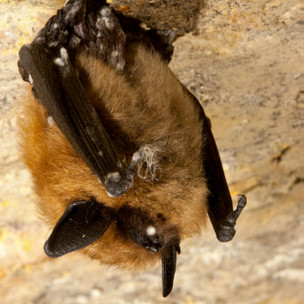 Morcego com síndrome do nariz branco nos EUA morcego afetado pela sindrome do pó branco nos eua - Foto: Ryan von Linden/NYDEC