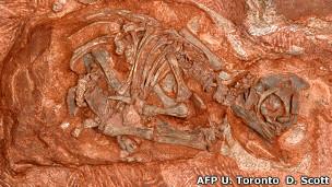 Embrión de dinosaurio hallado en Sudáfrica