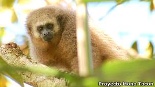 Mono Tocón Foto gentileza Proyecto Mono Tocón